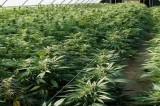 Depenalizzazione marijuana? Neanche per sogno