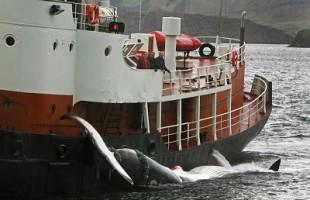In Giappone apre la caccia alle balene: intercettata flotta verso l'Antartico
