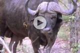 Il bufalo che salva l'amico da un leone affamato