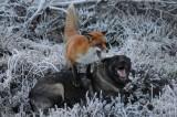 Norvegia, Red e Toby esistono. La tenera amicizia tra una volpe e un cane