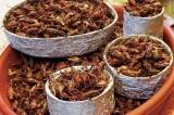 Gli insetti, il cibo del futuro: ecco quelli che mangeremo più spesso
