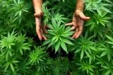 Legalizzazione della marijuana: lo stato dell'Ohio boccia la proposta