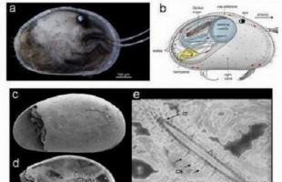 Trovato in Australia lo spermatozoo gigante più vecchio del mondo