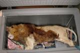 Leone morto nel congelatore di un ristorante: 'E' cibo per i cani'