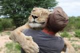 La sfida dell'uomo che sussurrava ai leoni: i nuovi denti di Aslan