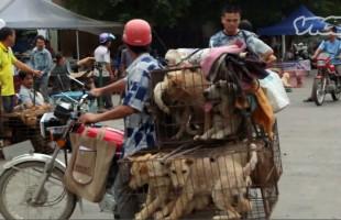 Yulin Festival 2015: la sagra del cane cinese che oltraggia l'umanità