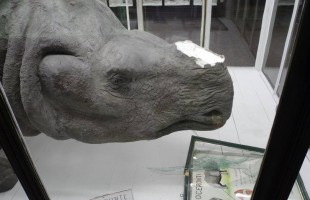 Rubano corno di rinoceronte al Museo di Genova. Ma è di polistirolo