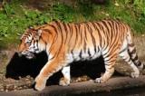 FOTO – Tigre del Bengala all'ospedale per la tac