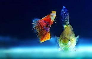 Come funziona il trasporto di pesci ornamentali