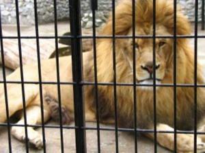 La gabbia dei leoni in un giardino zoologico