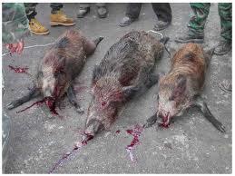 Tre cinghiali vittime della caccia