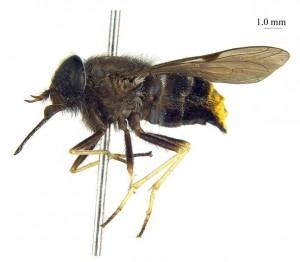 Il tafano con il nome di Beyoncé: Scaptia Plinthina beyonceae
