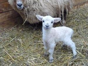 Un piccolo agnellino
