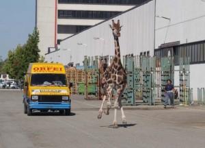 imola-giraffa-fuga