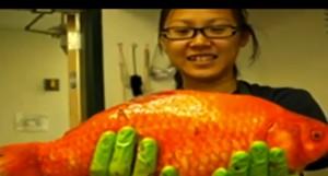 pesce rosso gigante