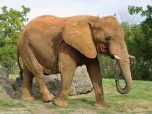 Le zanne di un elefante possono valere fino a diecimila dollari