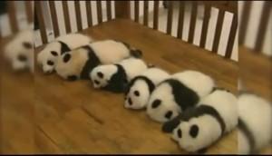 """I panda """"allineati"""" in una speciale culla"""