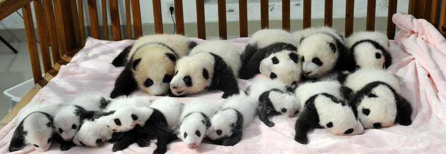 Cuccioli di panda presentati al pubblico dal Panda Research Centre di Sichuan