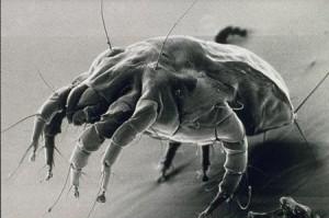 Gli acari della polvere somigliano a microscopici ragni (ulss.tv.it)