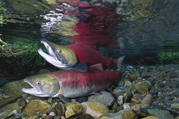 """Il salmone reale, i cui geni sono stati utilizzati per realizzare il """"salmone ogm"""""""