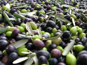 L'olio extravergine d'oliva si ottiene con la sola spremitura meccanica delle olive (eldi.it)