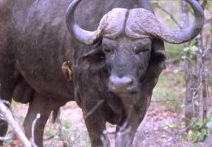 Bufalo (altervista.org)
