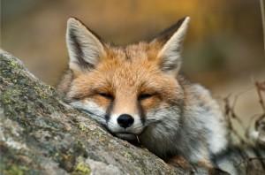 Una volpe in un momento di riposo