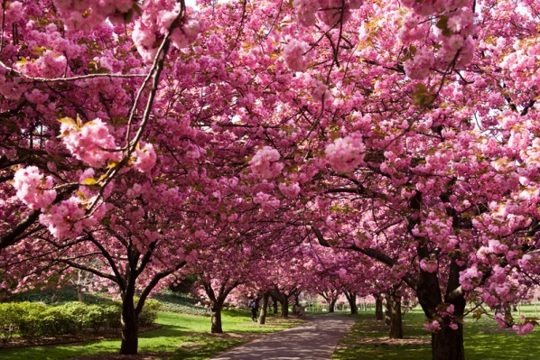 Sakura Eur