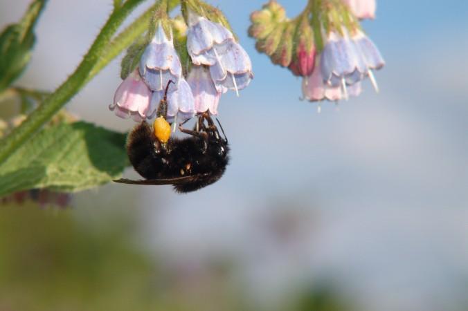 L'impollinazione di un  calabrone (www.epochtimes.it)