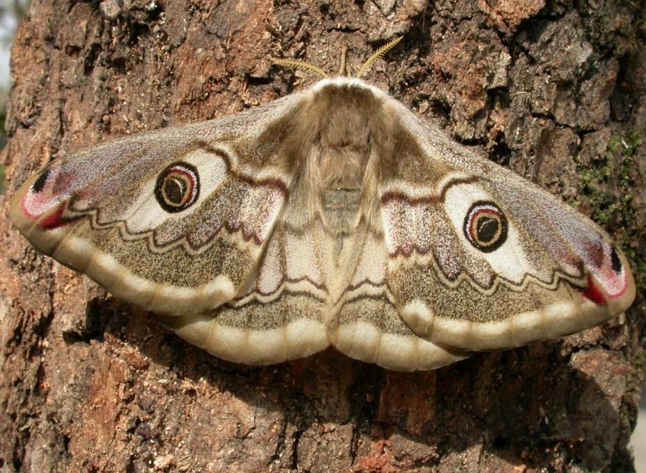 La falena è uno degli animali che compare nel romanzo La ferocia (www.naturameditarreneo.com)