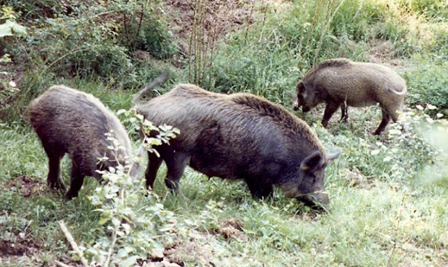 Una coppia di anziani è stata aggredita da un branco di cinghiali a Cefalù (madonielive.com)