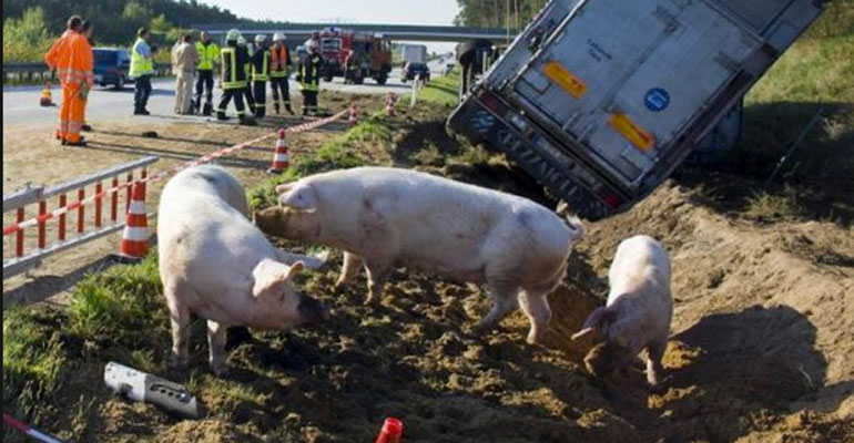 Un carico di maiali si è sparso su una carreggiata dell'A1 a causa di un incidente (www.consumatrici.it)