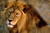 Shock allo zoo di Dallas: leone attacca e uccide leonessa
