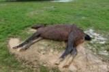Macabra scoperta a Grosseto, cavalli lasciati morire sotto la pioggia