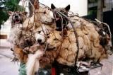 Ricomincia in Cina il Festival della carne di cane