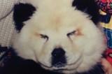 Sembravano panda ma erano chow chow truccati: denunciato il circo