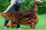 Cane avvelenato e ucciso da un rivale alla mostra mondiale Crufts 2015